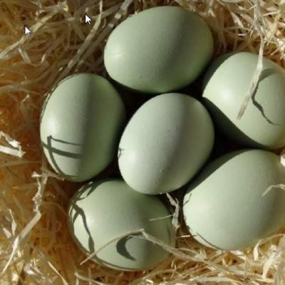 Oeufs au nid