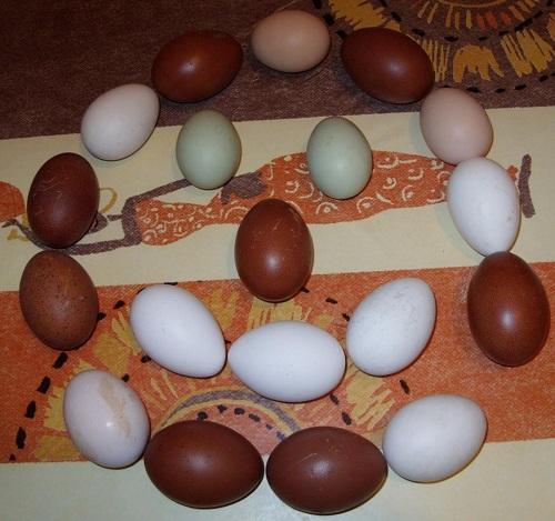 Les oeufs f cond s de poule araucana marans et de caille for Oeuf de poule mou